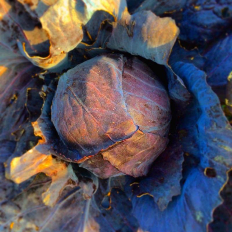 cabbage2