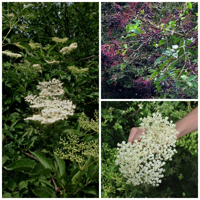 elderberries & flowers
